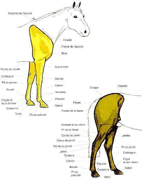 Les partie des membres (extérieur) du cheval
